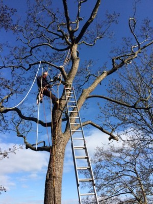 Renne hoog in de boom